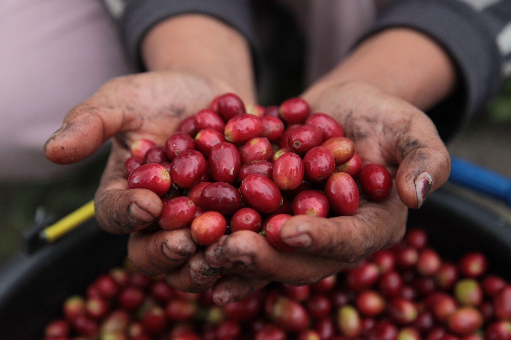 Bali coffee cherries