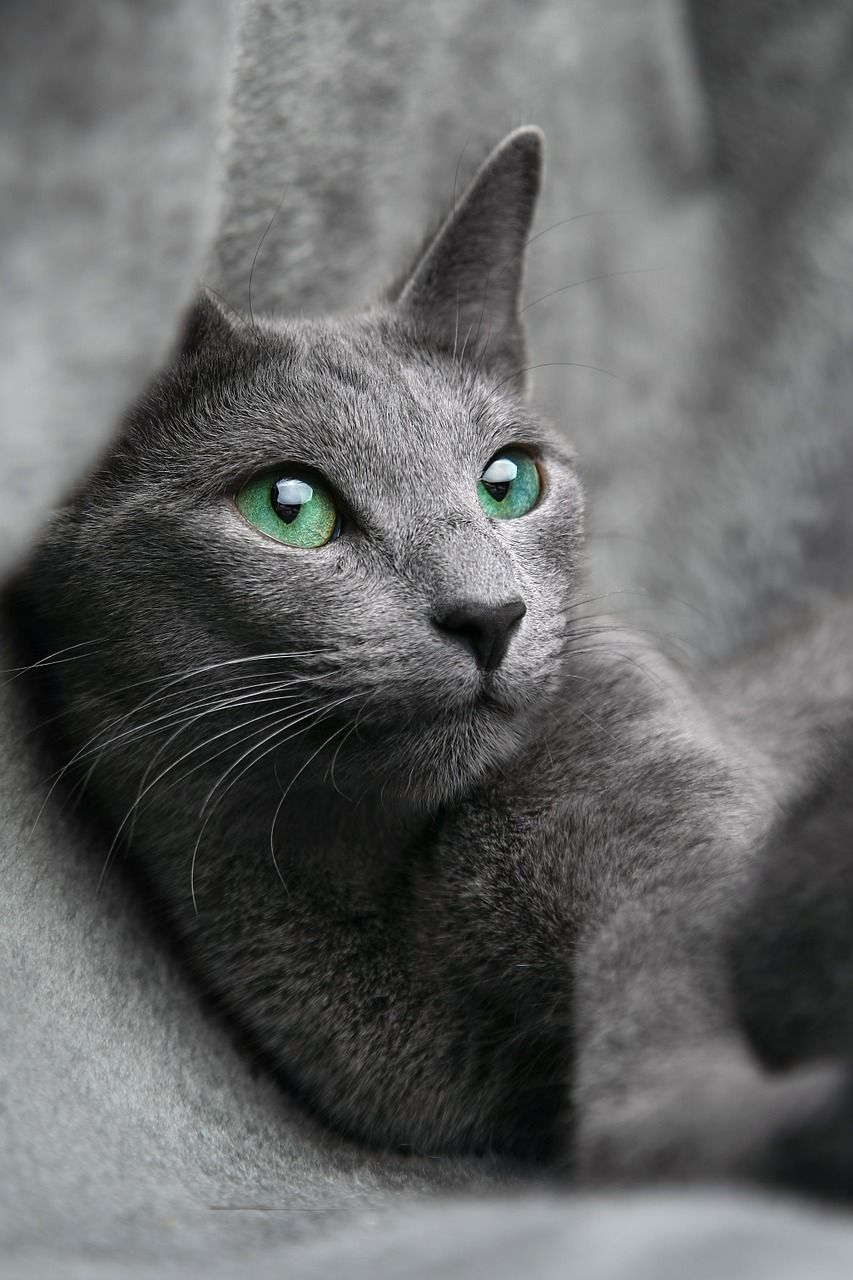 20 Most Popular Long Haired Cat Breeds Grey Cats Russian Blue