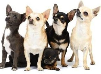 Chihuahua Weight Chart Under And Overweight Chihuahua