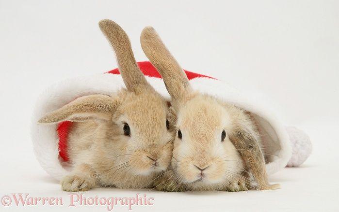 Two Rabbits In A Santa Hat Photo Cute Baby Bunnies Pet Holiday Bunny Wallpaper