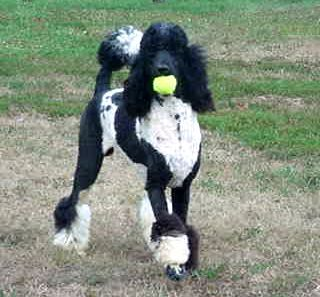 Tuxedo Parti Poodle Perfect Black White Addition To The Whbm