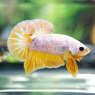 Pin By Marianne Sans On Beautiful Betta Fish Betta Fish Betta Betta Aquarium