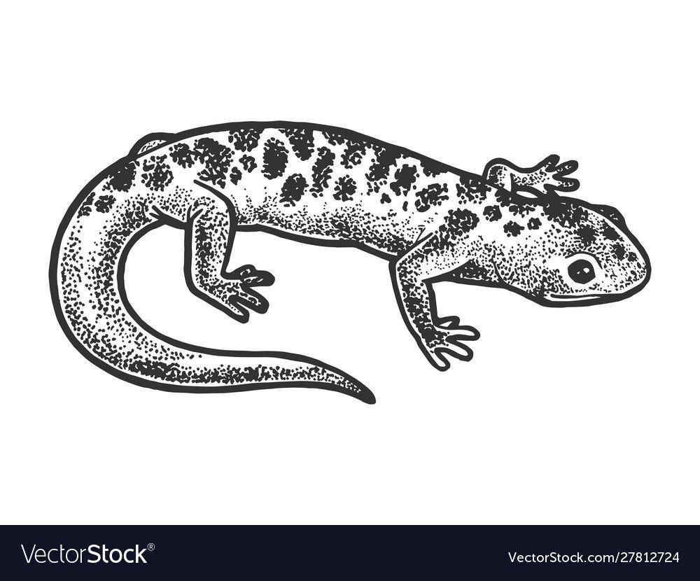 Salamander Lizard Animal Sketch Royalty Free Vector Image Affiliate Animal Sketch Salamander Lizard Ad Lizard Tattoo Lizard Tattoo Designs