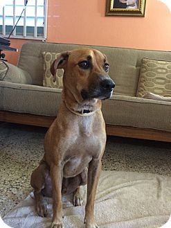 New York, NY Black Mouth Cur Mix. Meet Browny a Dog for