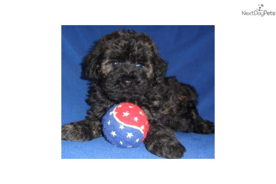 Scout, Male Schnoodle puppy for Sale in Ohio Schnoodle