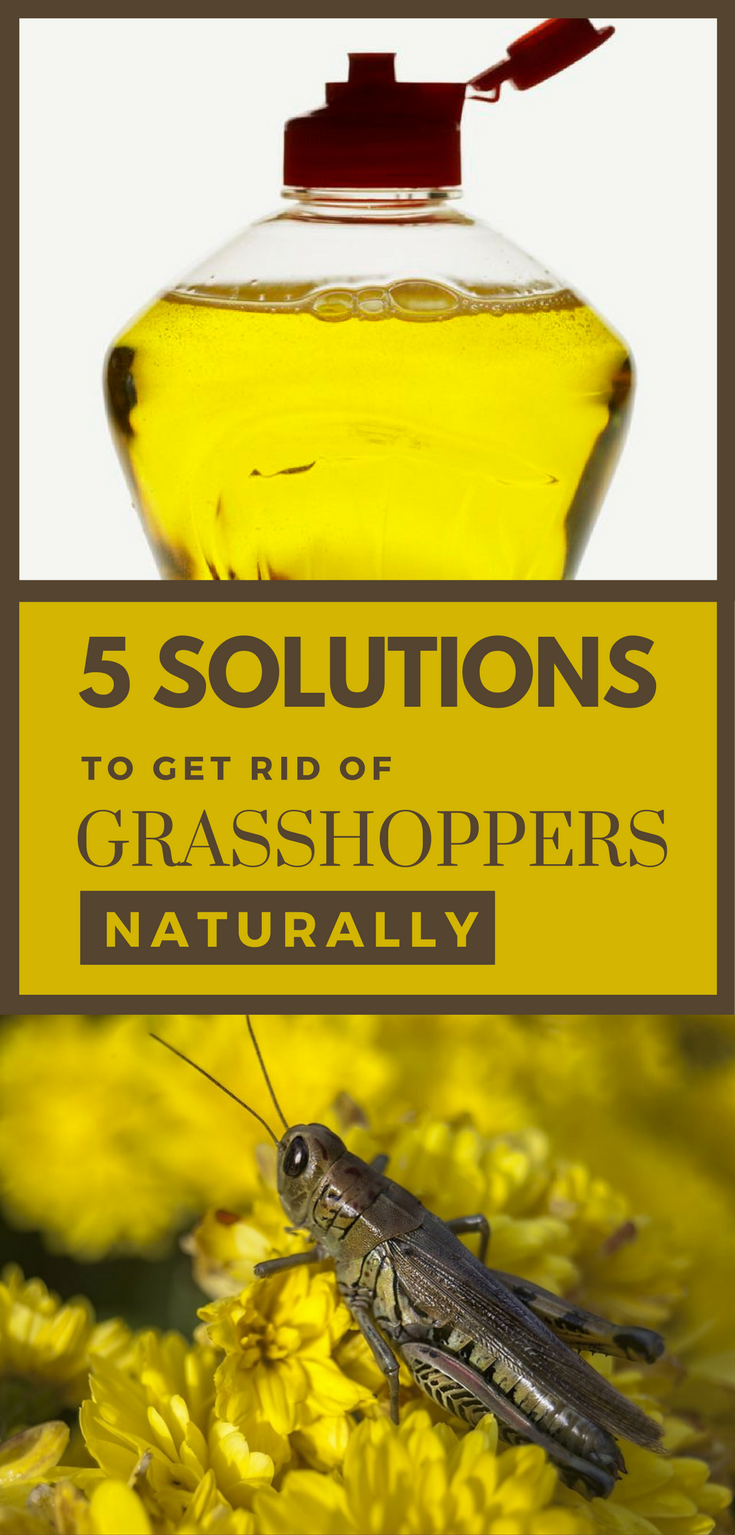 How To Get Rid Of Grasshoppers From Your Garden
