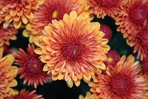 Mum Chrysanthemum X Morifolium Spicy Cheryl Orange Chrysanthemum Garden Mum Garden Pictures