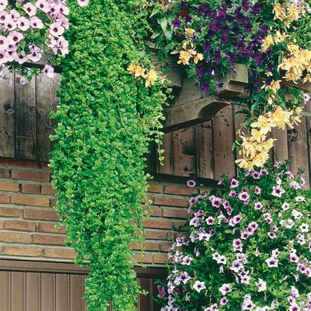 minze indian mint r schattenpflanzen gardening plants 2015 pinterest gartenideen hof. Black Bedroom Furniture Sets. Home Design Ideas