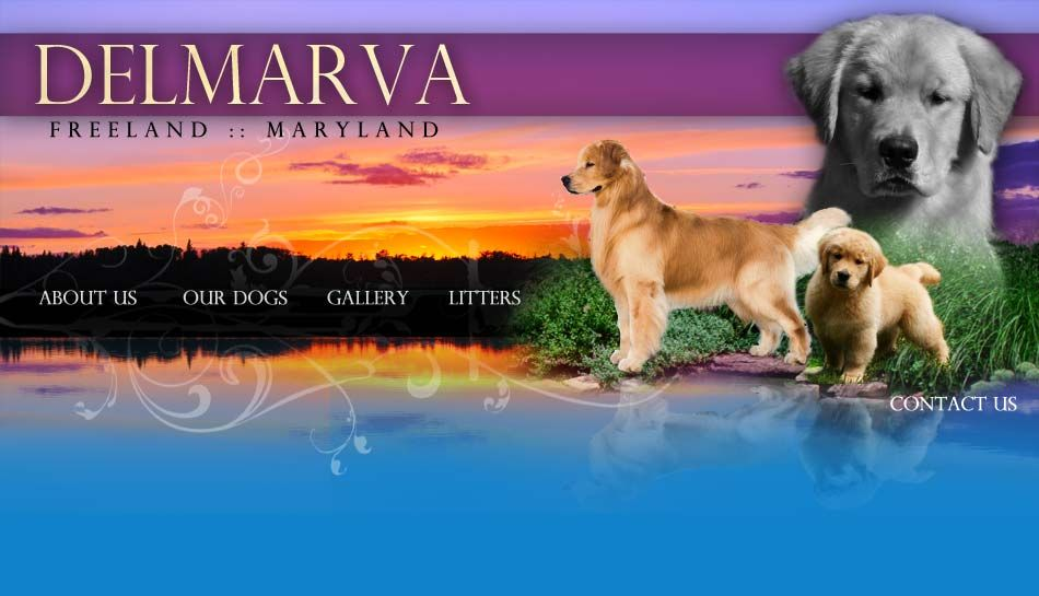 Delmarva Golden Retrievers Golden Search Retriever Puppy Dogs