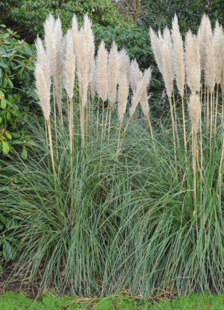Comment Planter Et Cultiver L Herbe De La Pampa Parterre De Fleurs Comment Planter Herbe De La Pampa