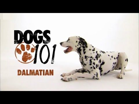 DOGS 101 - Dalmatian [ENG] - YouTube | Dogs 101, Dogs ...