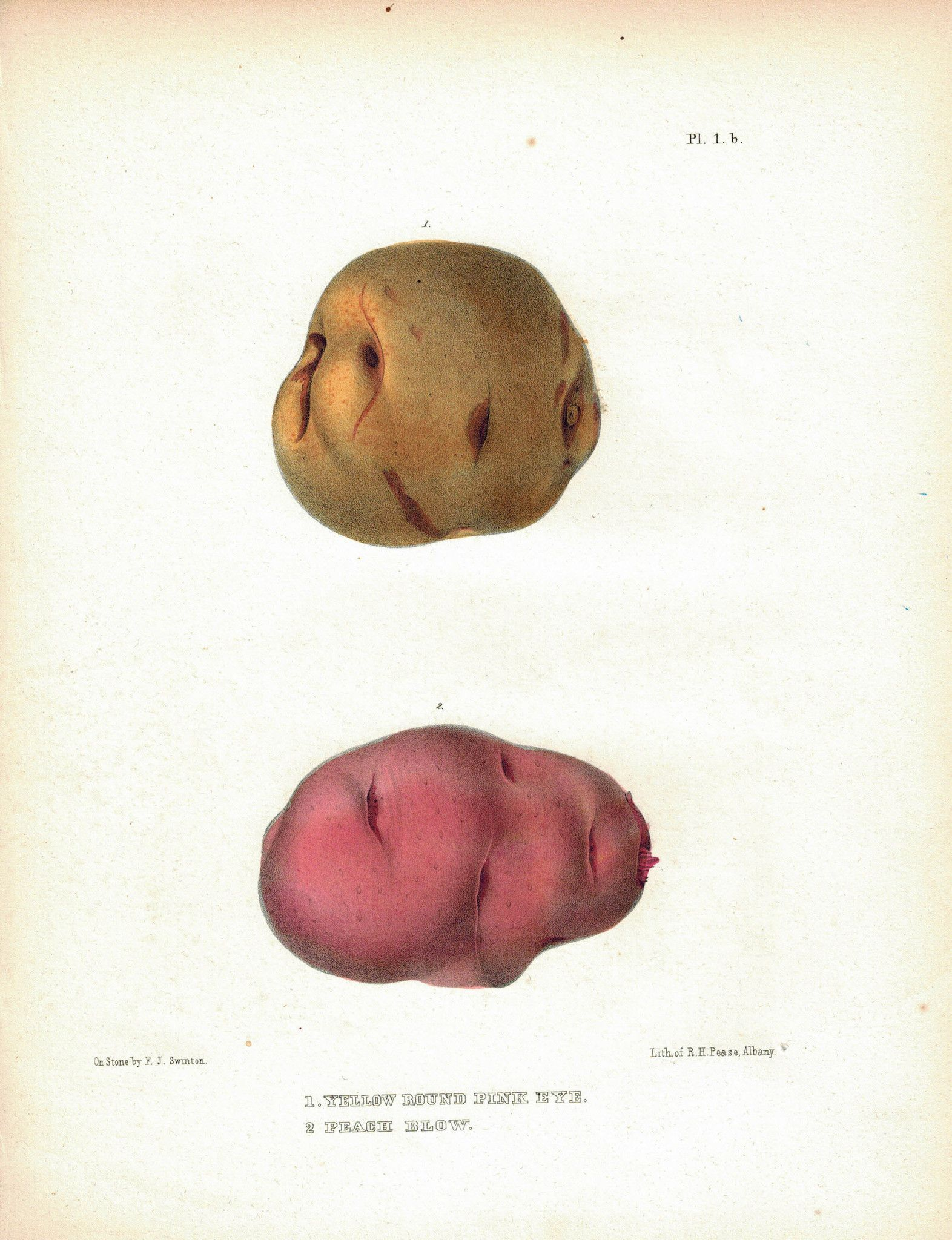 1849 Pl 1 b Yellow Round Pink Eye Peach Blow Emmons