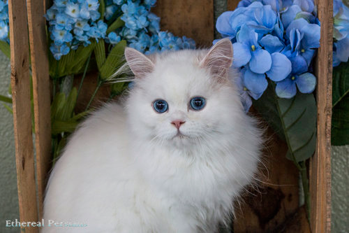 Snow — Doll Face Persian Cats Persian cat, Doll face, Cats