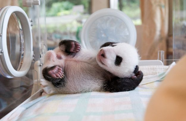 Excruciatingly Cute Picture Of A Little Baby Panda Waving His Tiny Panda Paw #babypandas