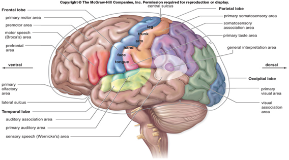 Sagittal View Of The Brain Overview Of Major Areas And Lobes