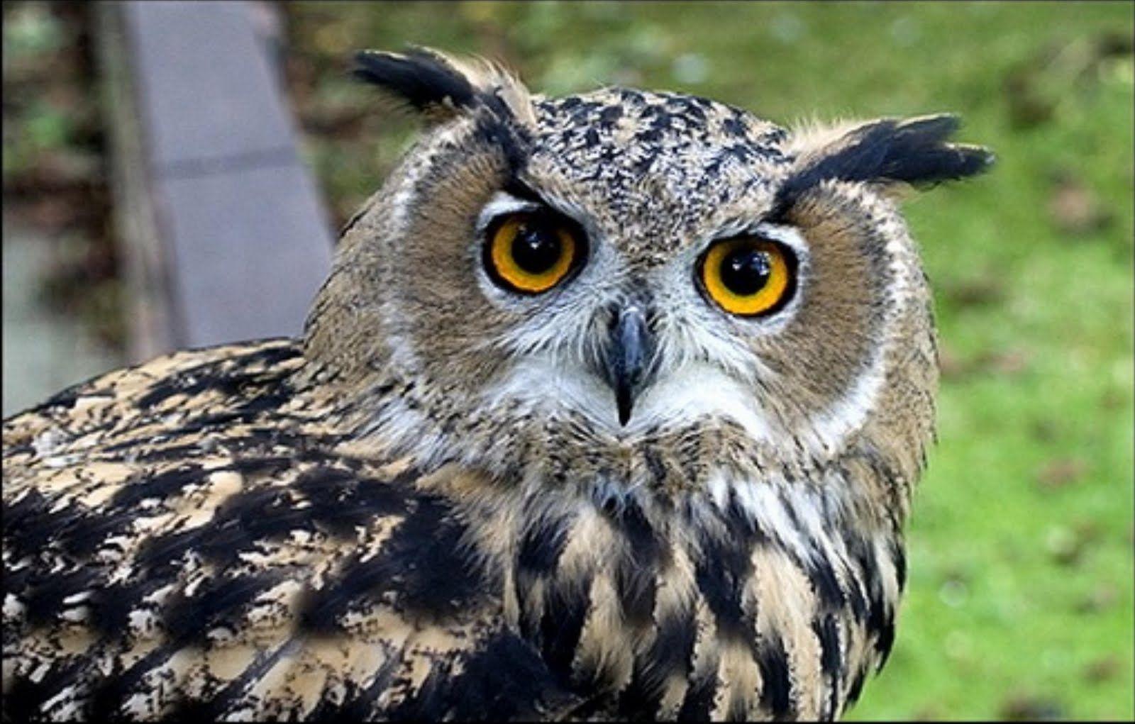 European Eagle Owl Owl pictures, Owl facts, Owl