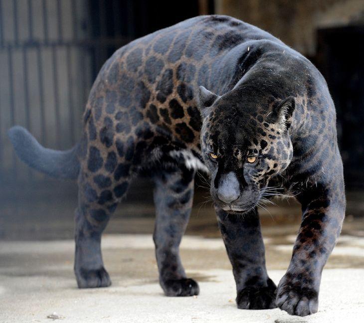 puma leopardo