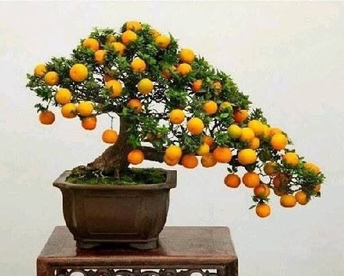 Beautiful-Miniature-Kumquat-Fruit-Bonsai-Tree-garden-decoration-