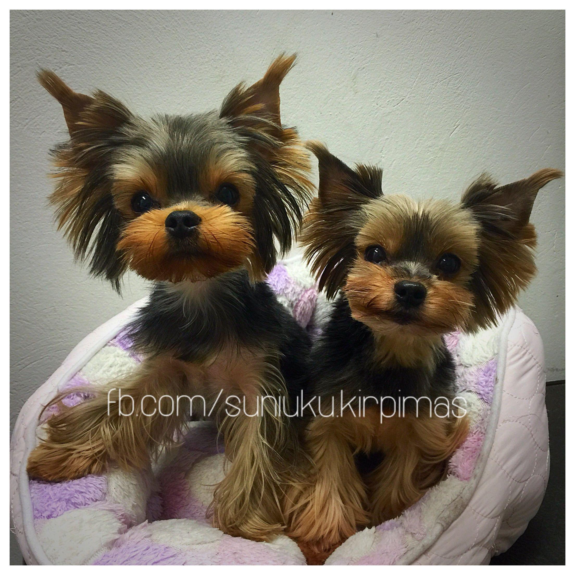 Asian Fusion Squirrel Ears Groomed By Vytenė Kazakaitė More Photos At Www Facebook Com Suniuku Kirpimas Yorkie Yorkie Terrier Yorkie Puppy