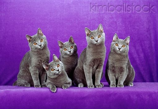 cat 02 ch0110 01 five chartreux blue cats sitting in purple studio kimballstock