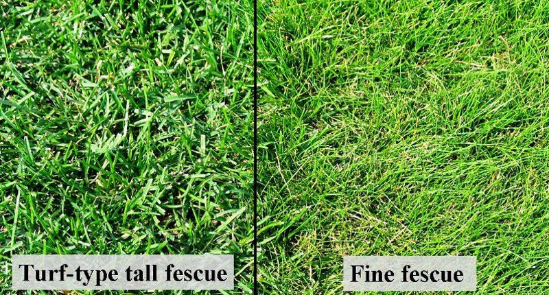 Tall Fescue Is A Cool Season Grass Well Adapted To Sunny Or Partially Shady Areas When Densely Sown A Pure Stand Forms A Tall Fescue Fescue Lawn Irrigation