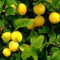 Citronnier En Pot Entretien Taille Rempotage Jardinage Jardin Fruitier Et Jardin Potager