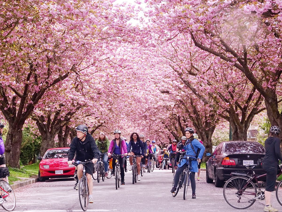 The Best Cycling Road To Ride A Bike Across The Road When Sakura Flowers Cherry Blossoms In Full Bloom Vancouver Canada Travel Cherry Blossom