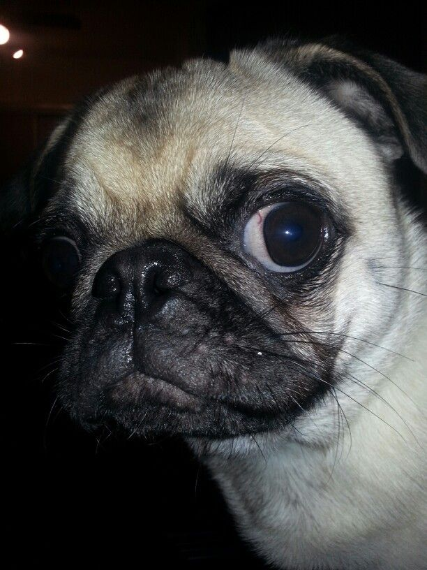 Crazy Eye Loki Crazy Eyes Pugs Puppies