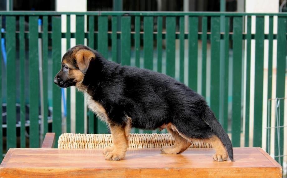 Adopt Dice On Dogs Animals Rottweiler Dog