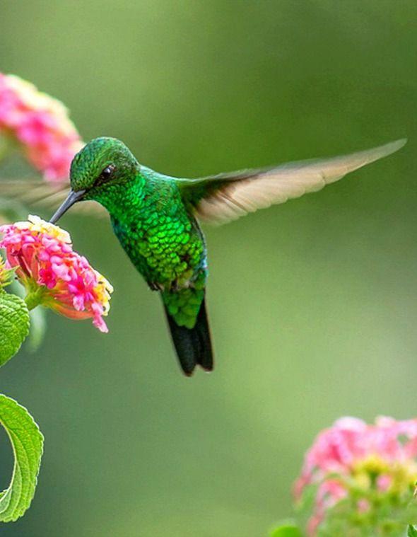 Garden Emerald (Chlorostilbon assimilis). A small hummingbird endemic to Costa Rica and Panama.