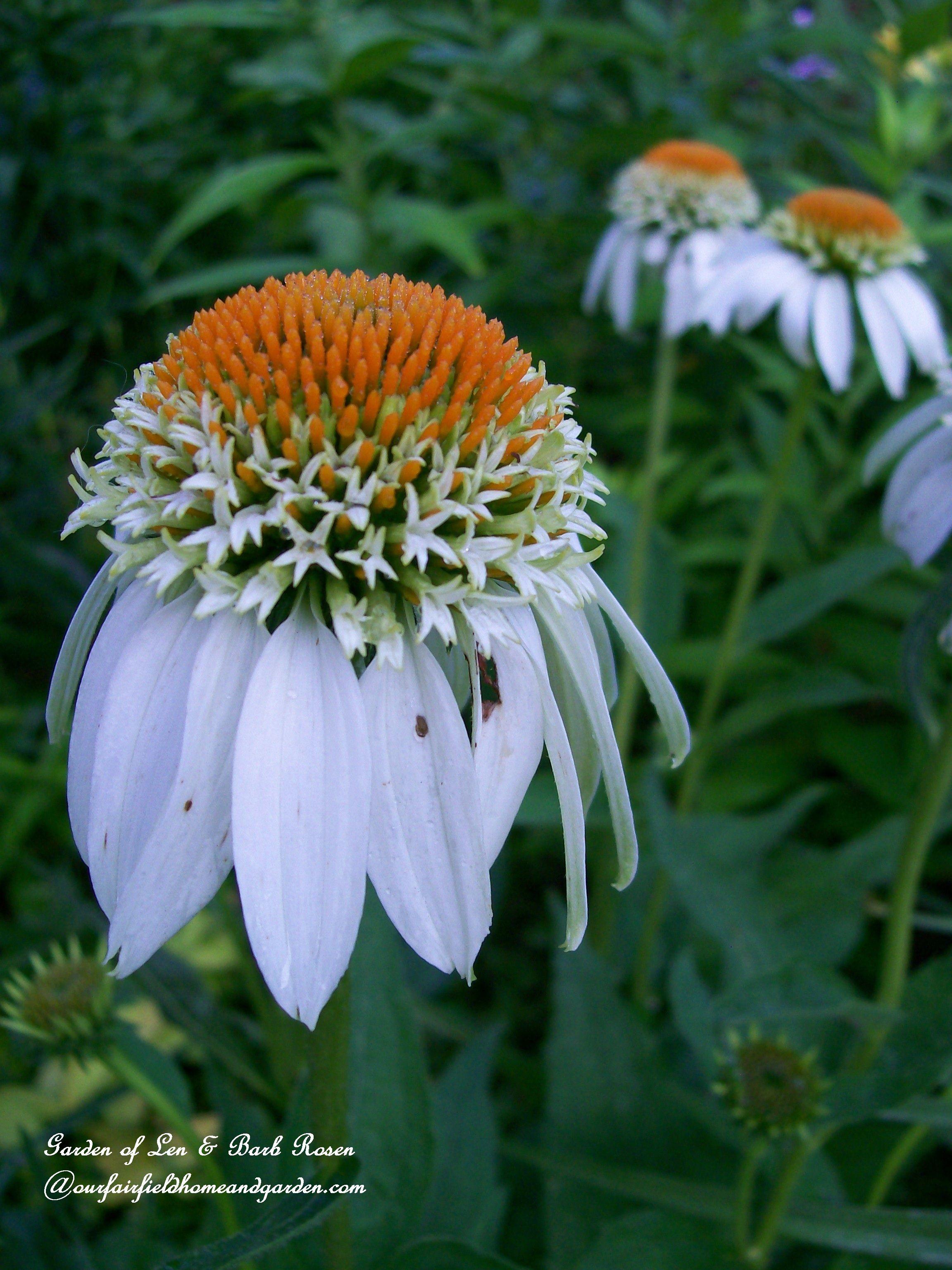 White Coneflower White Swan Garden Of Len Barb Rosen