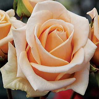 Slightly recurved outer petals give a distinctly elegant look.
