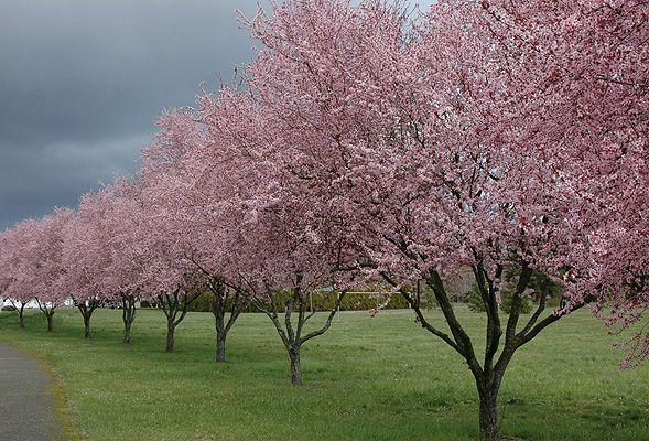 Prunus Cerasifera Thundercloud In Flower In Mid Late March Flowering Plum Tree Trees To Plant Plum Tree