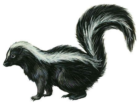 Striped Skunk Mephitis Mephitis Emerges From A Burrow Under A