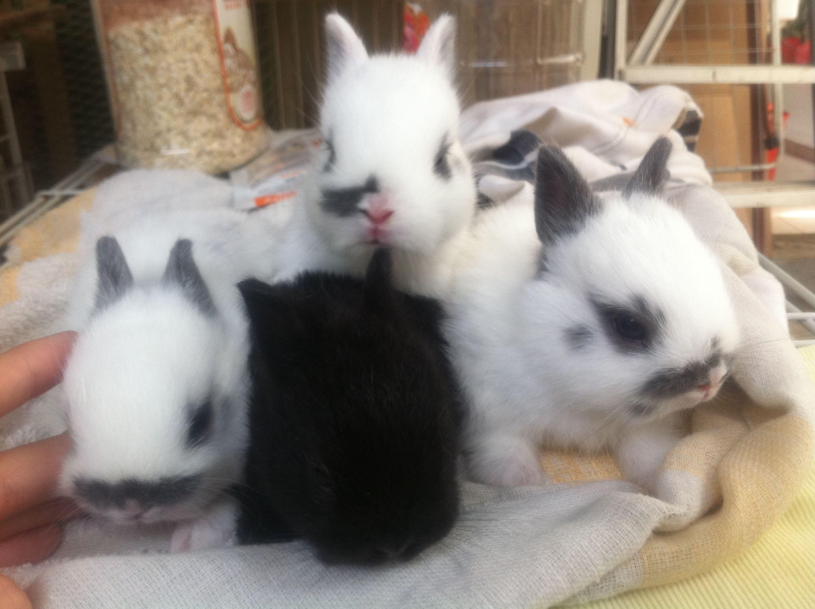 For Sale Adoption Baby Hotot Netherland Dwarf Rabbits Netherland Dwarf Dwarf Rabbit Dwarf Bunnies