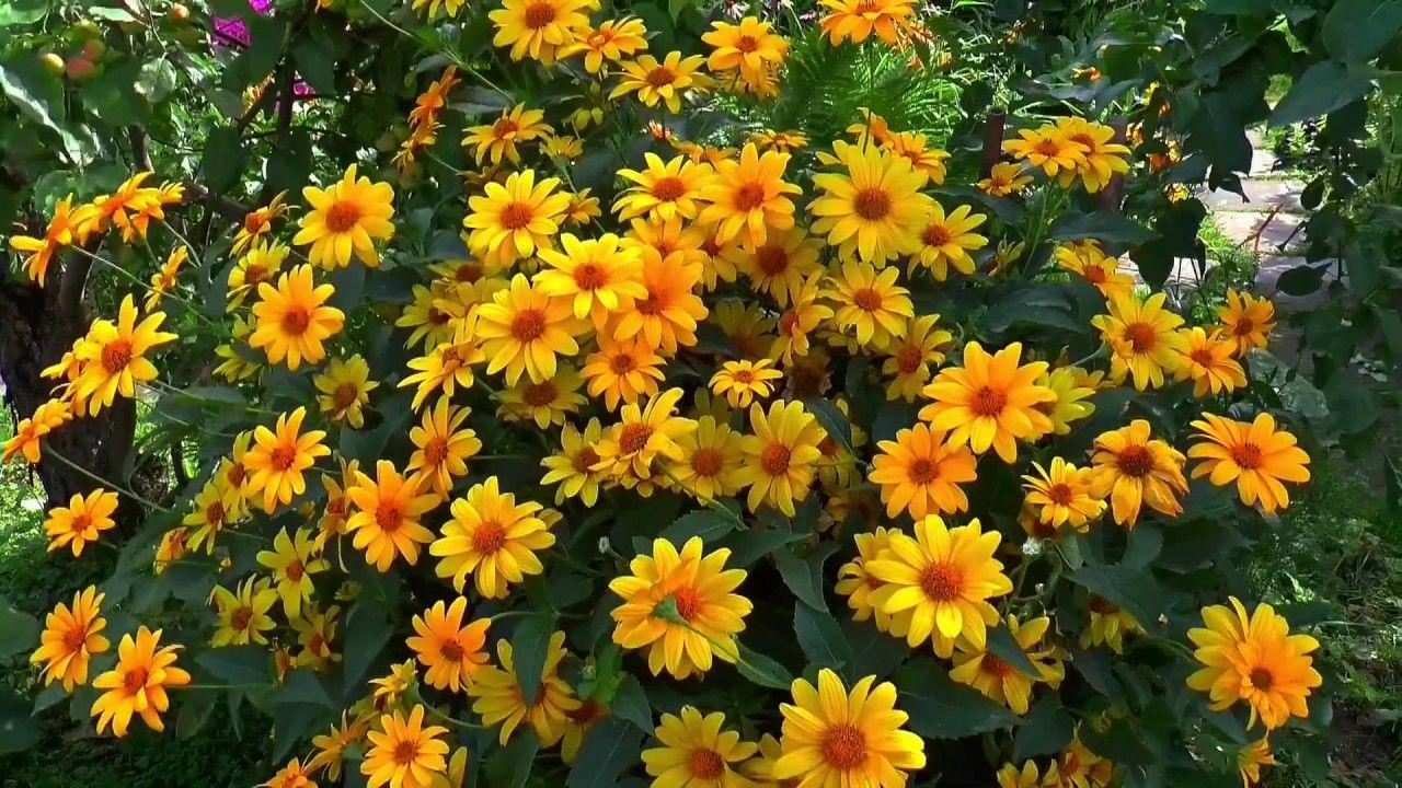 Amazing And Most Beautiful Chamomile Yellow And Purple Flowers