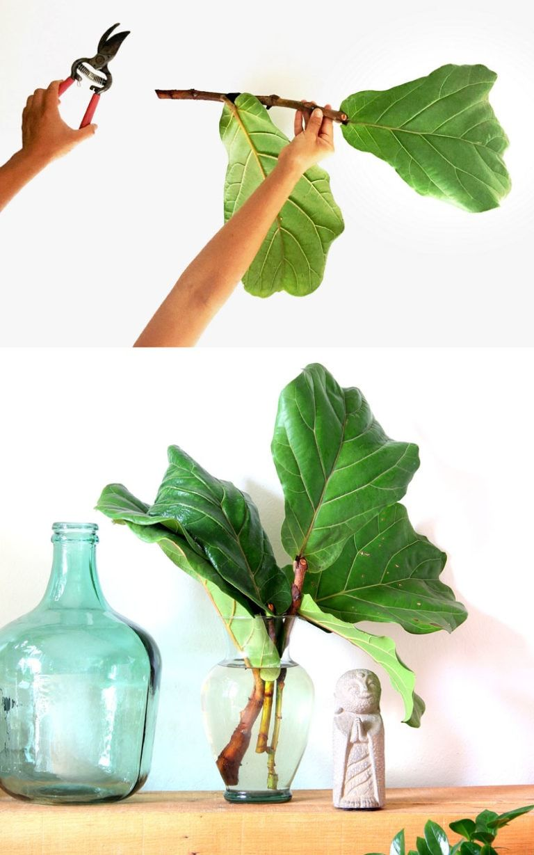 Fiddle Leaf Fig propagation in 2 easy ways with 100% success rate on all our stem cuttings! Lots of tips on how to multiply & grow FREE Fiddle Fig trees. – A Piece of Rainbow #indoorplants #houseplants #gardening #indoorgarden #farmhouse #boho #bohemian #homedecor #livingroom #bedroom indoor plants, houseplants, gardening indoor garden, modern colorful farmhouse, boho, bohemian, home décor, living room, bedroom