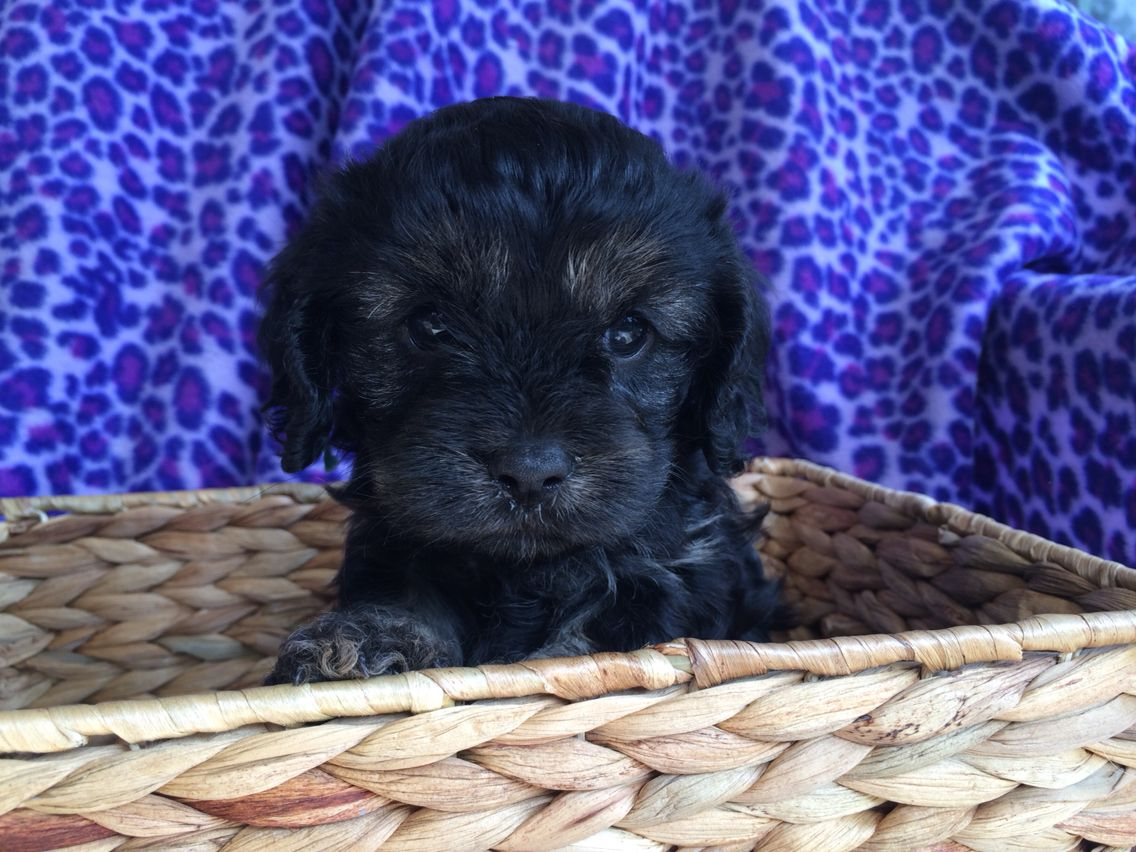 Black Tan Male Cavapoo Puppy 4 Weeks Giorgio Armano Faith