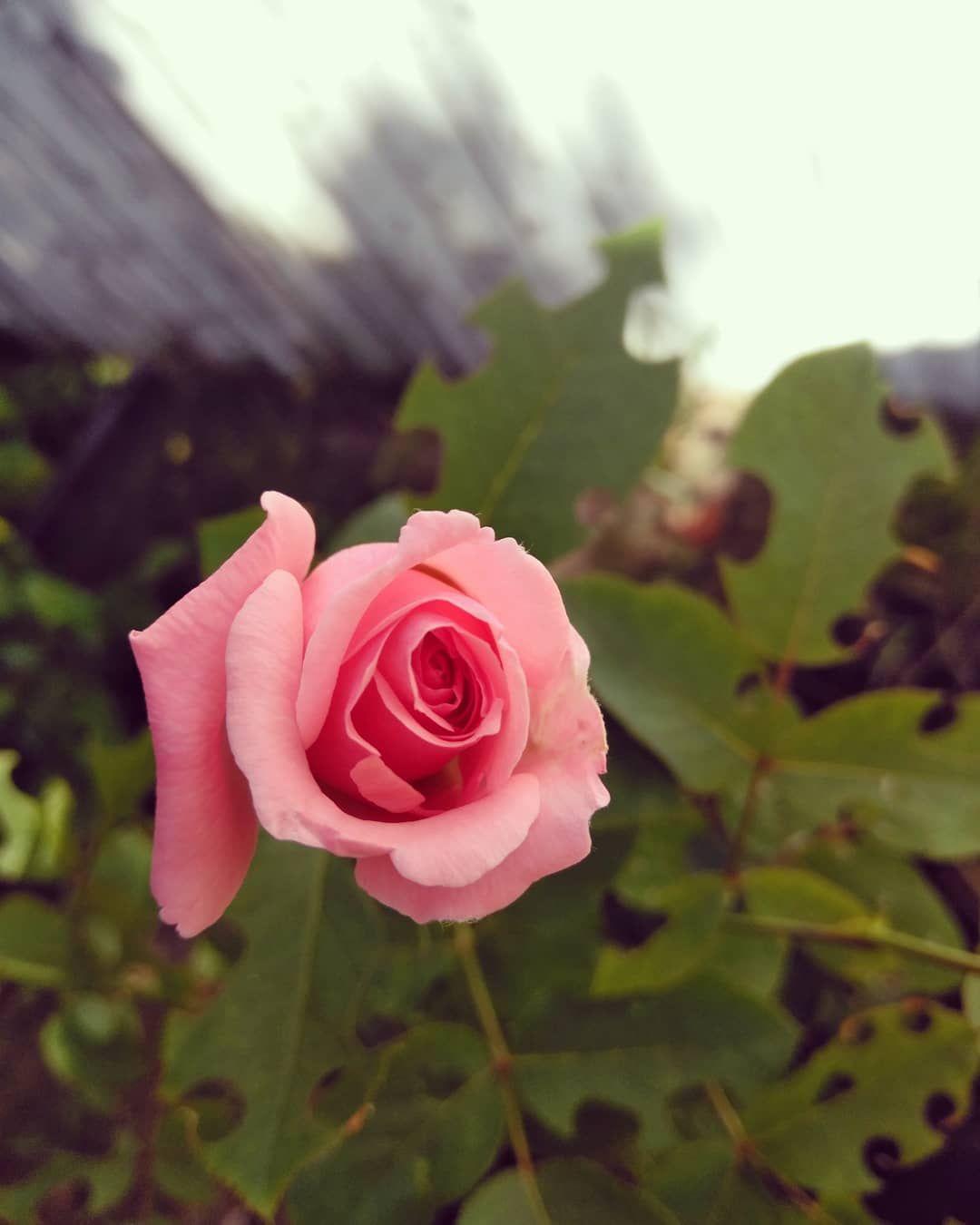 Rosas de m jardn