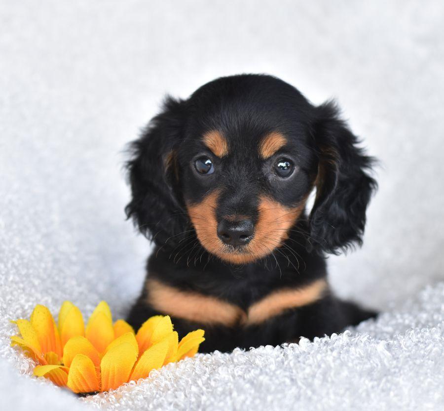 Mini Shorthaired Dachshund Black N Tan Pup 4 Sale Puppies