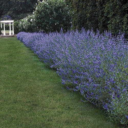 Longwood blue blue mist shrub shrub gardens and yards for Landscaping longwood