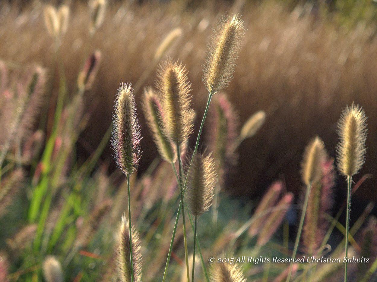 Hameln Ornamental Grass Pennisetum hameln ornamental grass perennial meadows pennisetum hameln ornamental workwithnaturefo