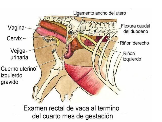 Examen rectal bovino cuarto mes de gestación | Palpación bovina ...