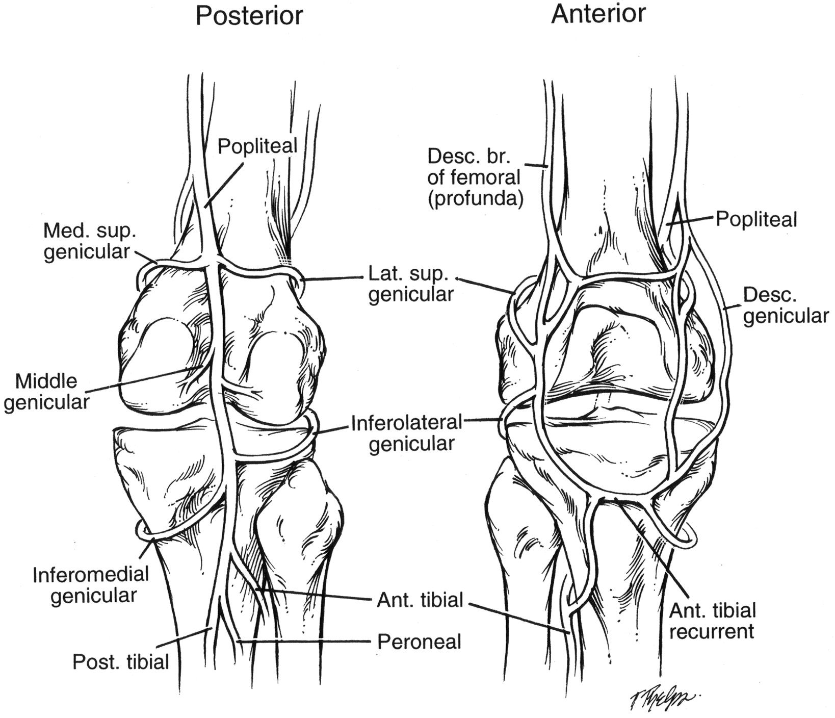 Location Of Popliteal Vein And Branches Thereof At Probs Pinterest