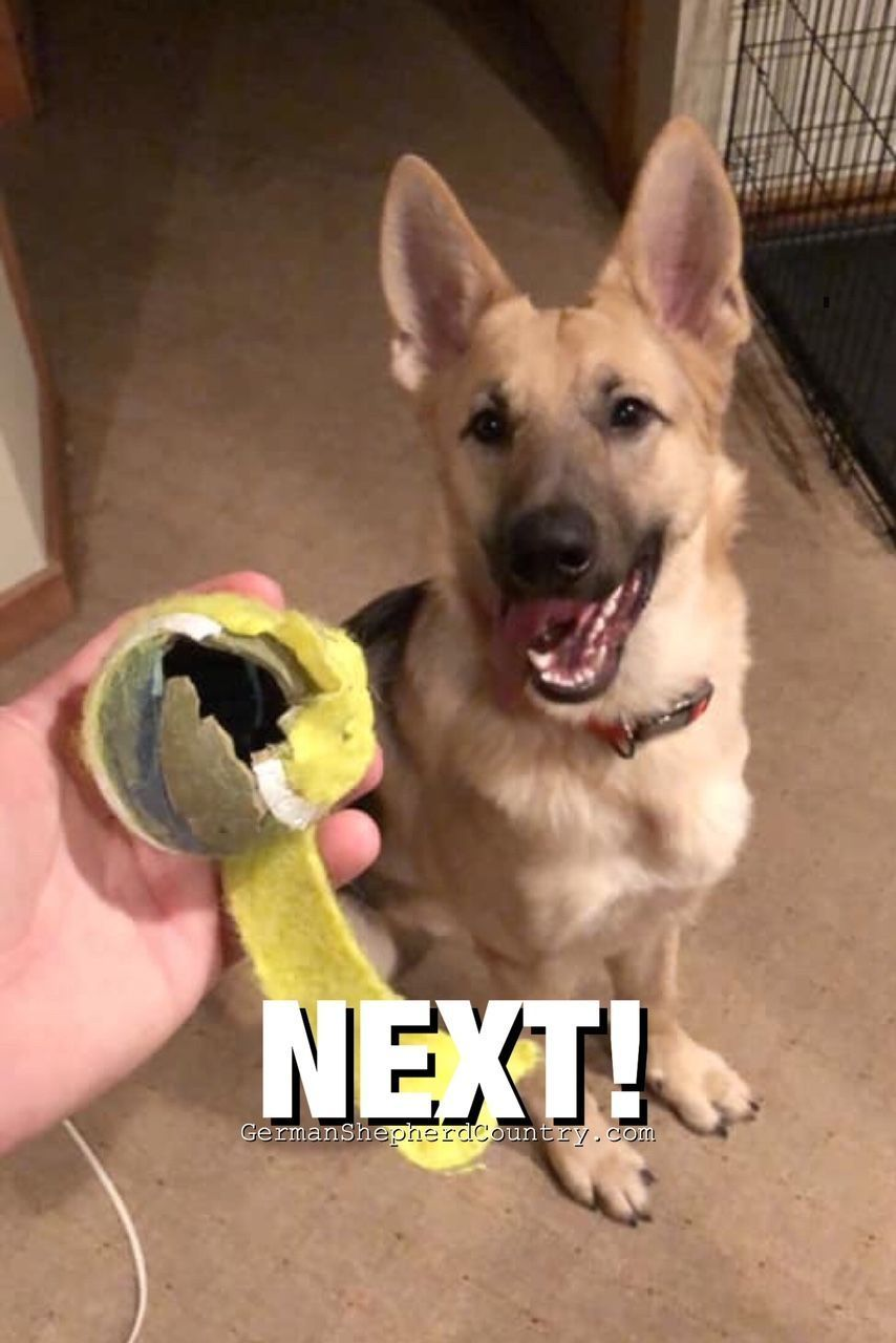 Relatable German Shredder Loved By Thomas Anderson Gsd
