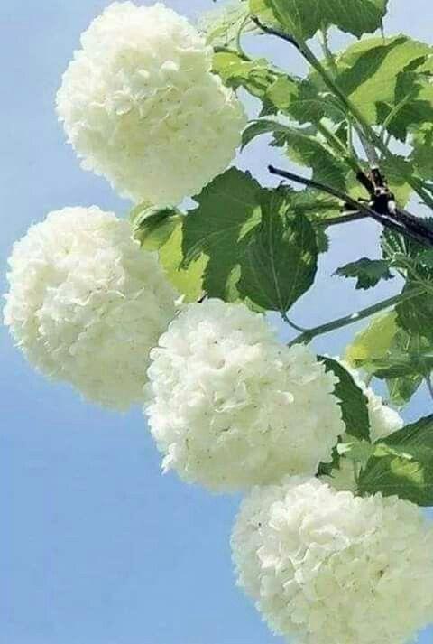 Removing Dead Hydrangea Blooms