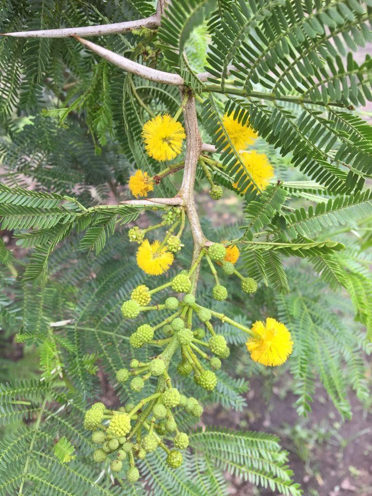 Acacia Karroo Presently Known As Vachellia Karroo Sweet Thorn Cape Karoo Mimosa Wild Plants Trees To Plant Walking In Nature