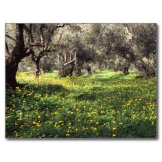 The olive grove postcard