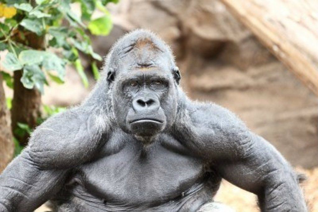 11841107-gorilla--silverback-gorilla-looking-at-camera photo ...