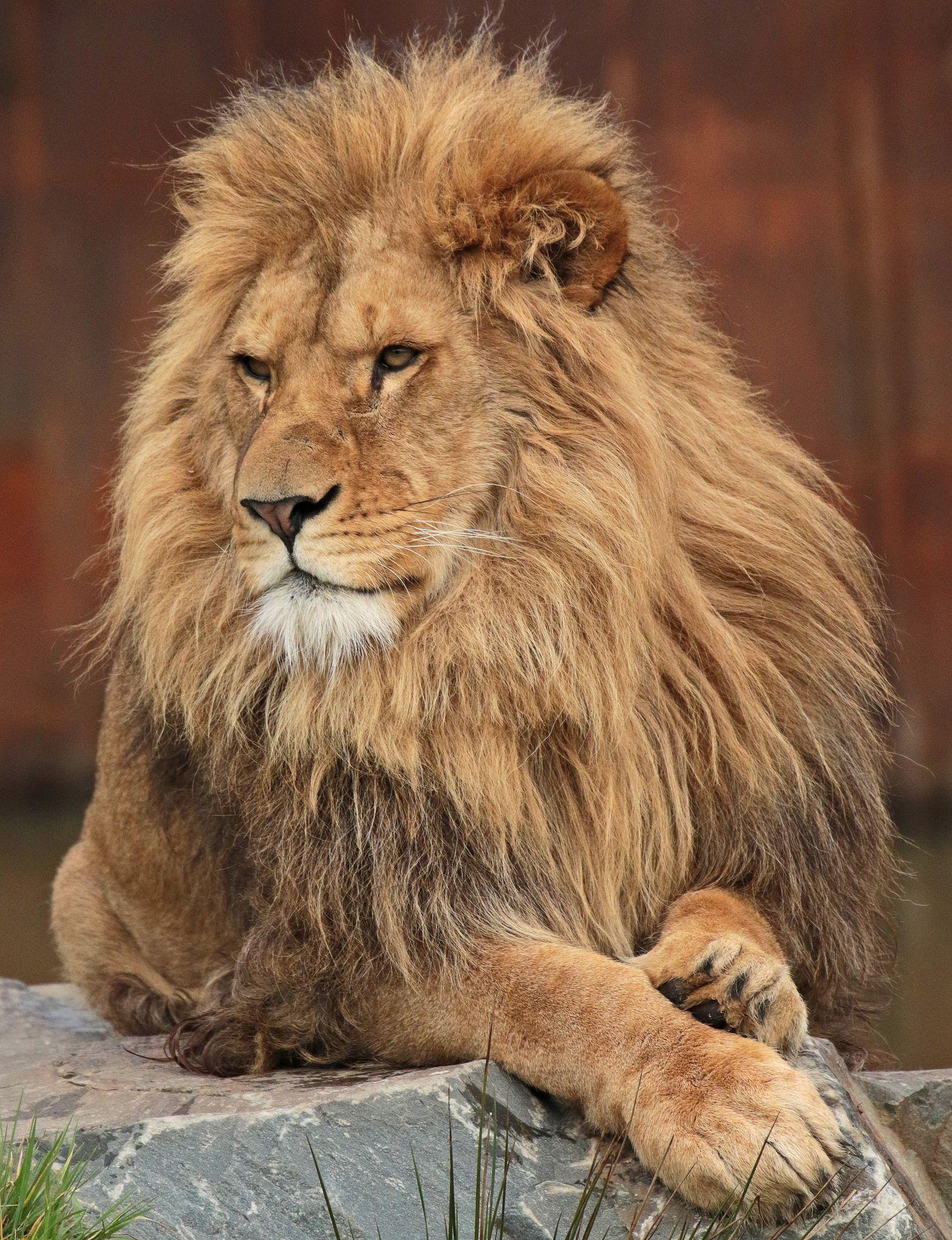 african lion Beekse bergen JN6A1034